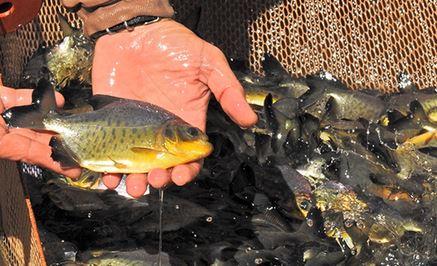 ITAIPU rescató más de 4.000 peces en los últimos cuatro años